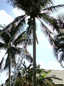 palm-tree-pruning-south-florida